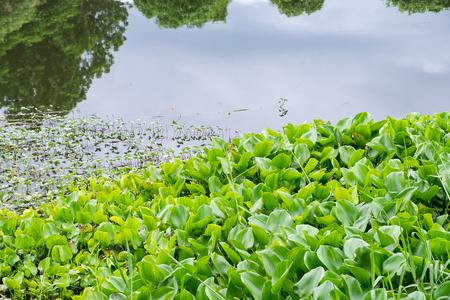 Water Hyacinth many green in river marsh creek