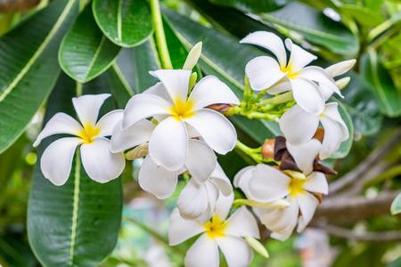 Plumeria,Frangipani,leelawadee,lantorm flower bloom white yellow