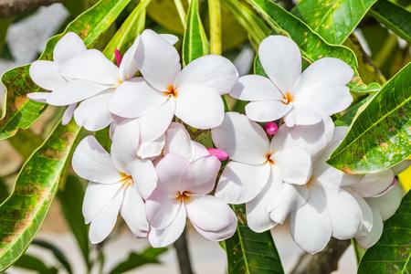 Plumeria,Frangipani,leelawadee,lantorm flower bloom white pink Banque d'images