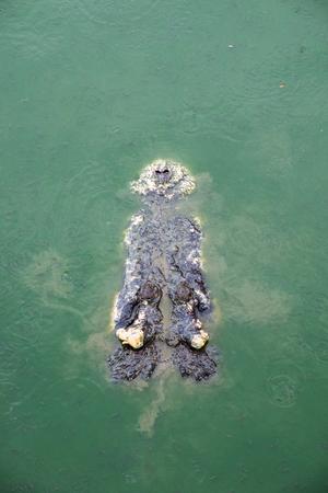 Big crocodile in pond farm