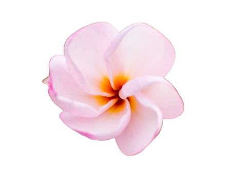 Plumeria pink white petal young mild,isolated on background Stock Photo