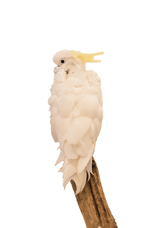 Parrot white feather holding branch,isolated on background