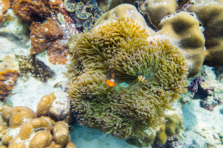 Clownfish hiding in coral reef Stock Photo