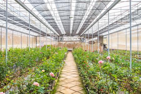 Nursery plant roses in room 스톡 콘텐츠