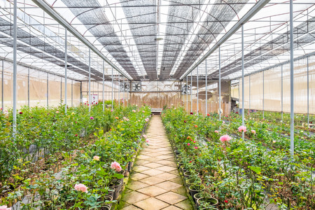 Nursery plant roses in room Stock Photo