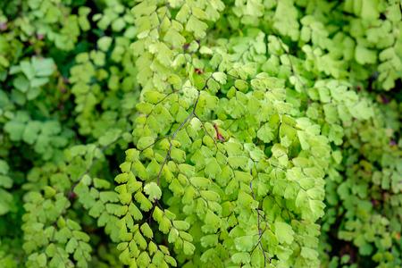 Maiden Hair Fern Adiantum Sp green leaf shiny close up