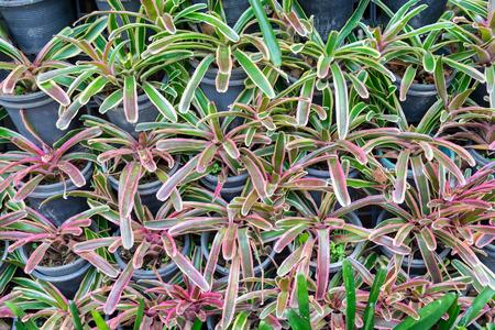 Bromeliad garden in black vase 写真素材