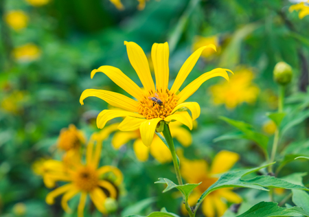 Tree marigold,Mexican tournesol,Mexican sunflower,Japanese sunflower,Nitobe chrysanthemum,yellow leaf shape radial blossom and bee pollinate in garden