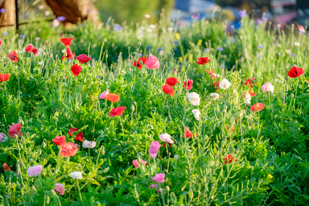 Poppy flower red pink white sunlight shining in clump Stock Photo