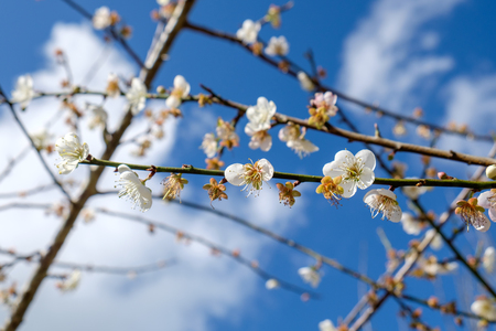 Chinese plum,Japanese apricot,bloom white flower beautiful on branch Stock Photo