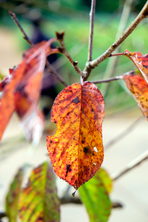 Leaf sear dry red yellow on branch in december Stock Photo