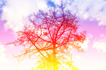 Cotton Tree,Kapok Tree,Red Cotton Tree,Silk Cotton,Shving Brush, Local tree of north thailand,gradient effect
