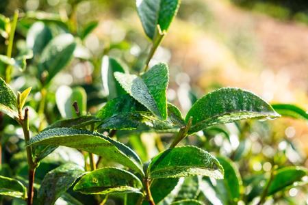 Tea leaf dew shoots in farm close up Imagens