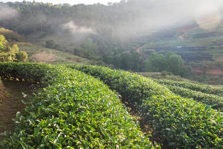 Tea plantation beautiful natural at chiang mai,thailand Stock Photo