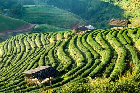Tea plantation beautiful landscape on hill