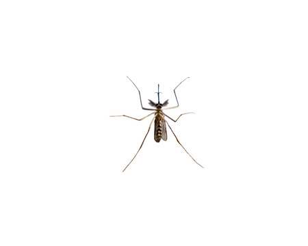 Mosquito species aedes aegyti sleep open,isolated on background