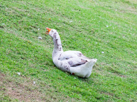 White duck sitting yawn on farm