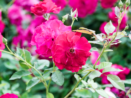Beautiful pink rose blooming in garden
