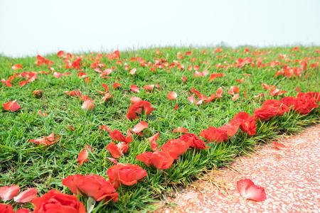 Red rose flower fall on mound grass Фото со стока