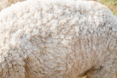 Wool sheep body close up texture