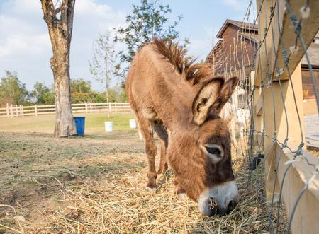 Donkey dwarf brown white nose side eating grass