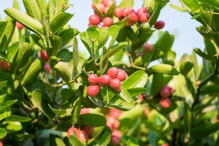Carunda,Karonda fruit cluster green leaf on tree