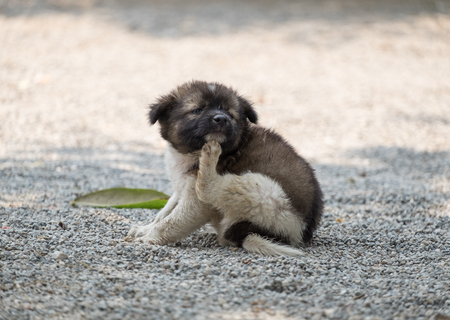 Puppy dog chubby scratching itch Stockfoto