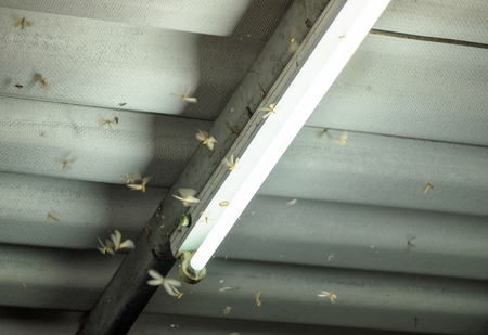 Termite crowd flying around lamp lighting front house in damp weather