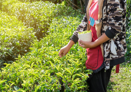 Girl tribe farmer picking tea leaf in plantation