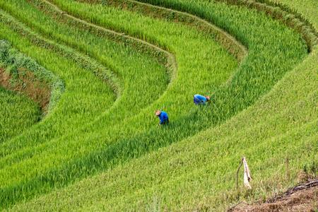 Farmers are harvesting on rice terraced at Mu cang chai, Yen bai, Vietnam Stockfoto