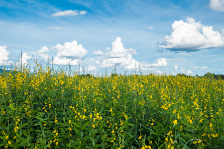 Sunn hemp, Chanvre indien, Crotalaria juncea yellow blossom in field with blue sky