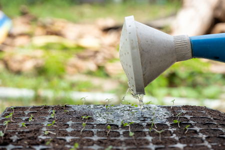 Watering can pouring water on sapling sprout in soil tray