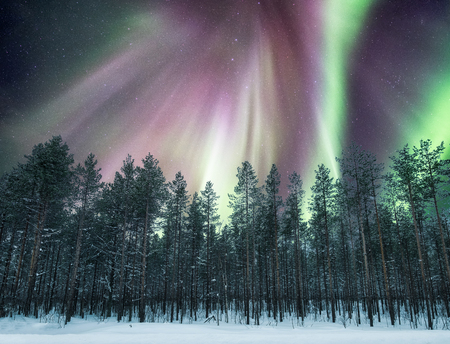 Aurora borealis over pine forest on snow at night