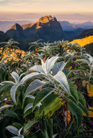 Hoarfrost on leaves with Doi Luang Chiang Dao mountain at sunset