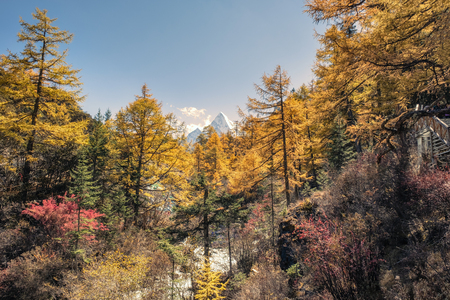 Golden pine forest with holy mountain in autumn valley