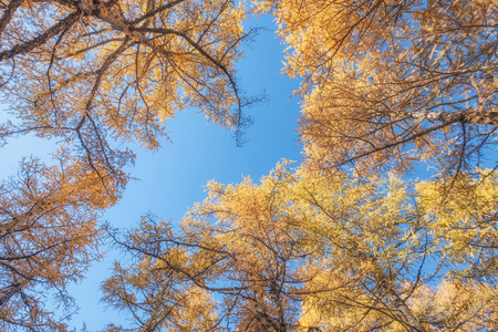 Low angle of Golden pine forest with blue sky