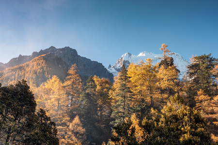 Autumn pine forest with sunlight in valley at Yading nature reserve