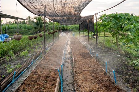 Cultivated organic lettuce in straw with sprinkler watering in garden Imagens