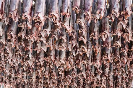Cod fish headless drying on wooden racks. Traditional food in lofoten islands