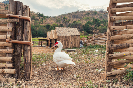 White duck in wooden stall at countryside