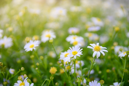 Daisy flower or Chamomile yellow pollen blooming in garden