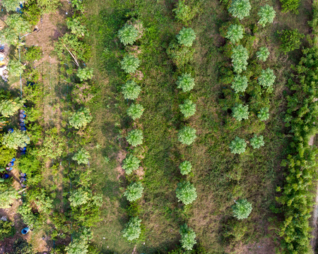 Top of cultivate papaya fruit grove in plantation Imagens