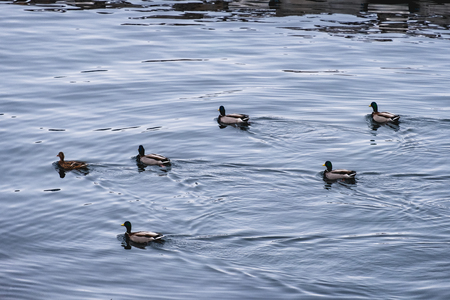Herd of Dabbling duck orderly floating in coastline at winter time