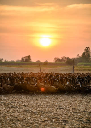 Flock of ducks with sunlight shining in stall at countryside