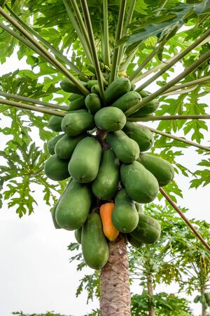 Bunch Papaya holland species on top of trunk in plantation
