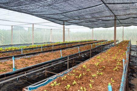 Farming organic lettuce with watering pipe on plot in greenhouse plantation