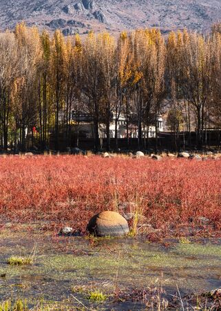 Ginkgo tree with red meadow in autumn on swamp at Daocheng, China