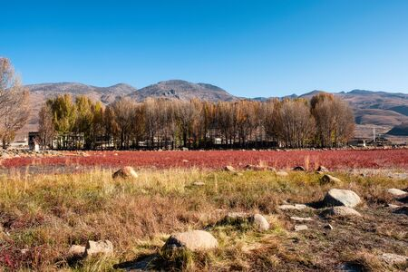 Ginkgo tree with red meadow on swamp in autumn at Daocheng, China