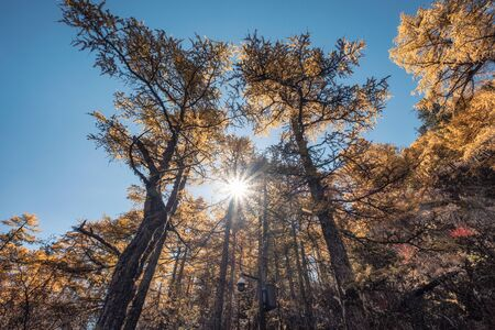 Pine forest with sunshine in autumn at Yading nature reserve, Daocheng, China Reklamní fotografie
