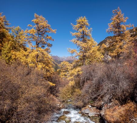 Golden pine forest with waterfall in national park at Yading nature reserve